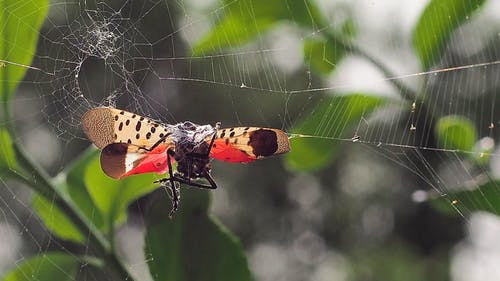 Spotted lanternflies have spread throughout campus and may continue to appear until December. – Photo by Monocletophat123 / Wikimedia.org