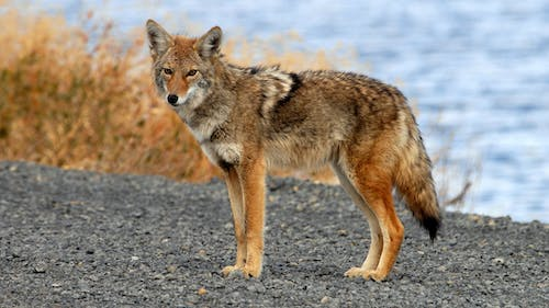 Because the coyote on the Livingston campus was unusually aggressive and did not fear humans, officials presume it was sick or rabid. – Photo by Flickr