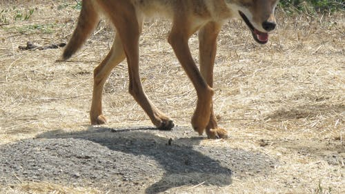 The behavior exhibited by the coyote indicated it was either sick or had lost its fear of humans, the University said. – Photo by Wikimedia